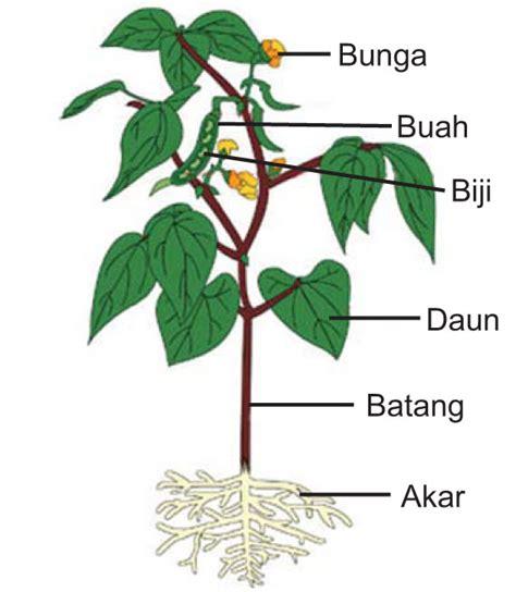 bagian bagian tumbuhan dan fungsinya