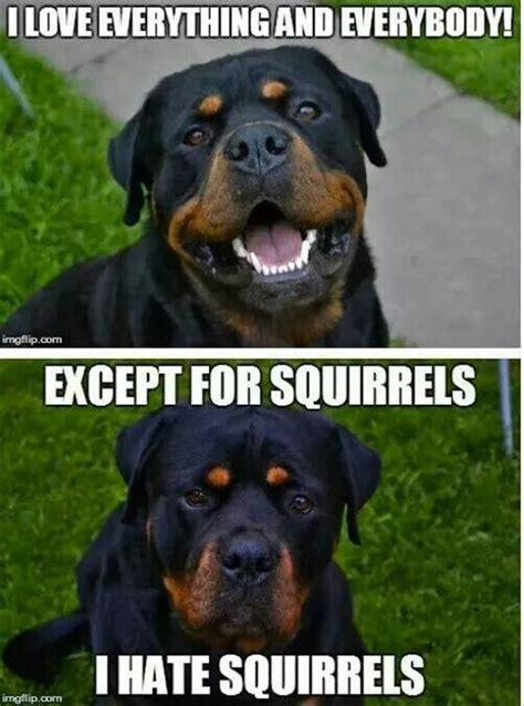 rottweiler memes memes animals puppy meme lol quotes humor quotes