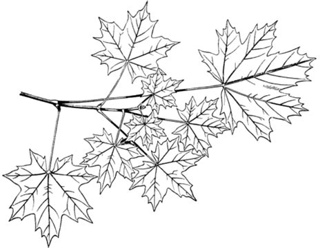 coloring page of maple tree sugar maple coloring page coloring pages