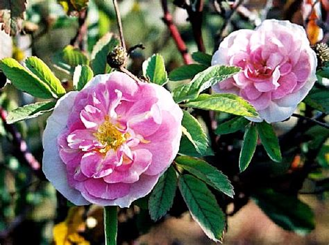 bett rosa untitled document bulbnrose x10 mx