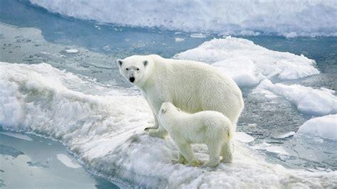 Bears White white wallpaper hd desktop wallpaper