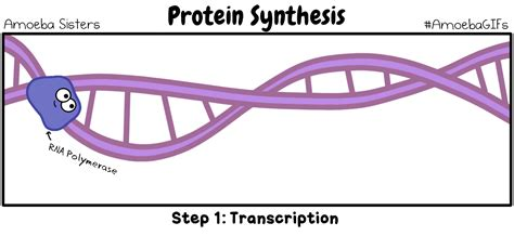 protein gif protein synthesis gif by sarinasunbeam on deviantart