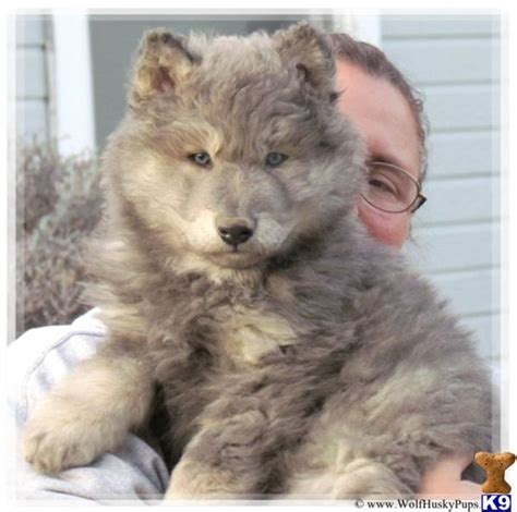 german shepherd wolf hybrid puppies for sale wolf german shepherd puppies sale wolf shepherd mix puppies breed wolf puppies for