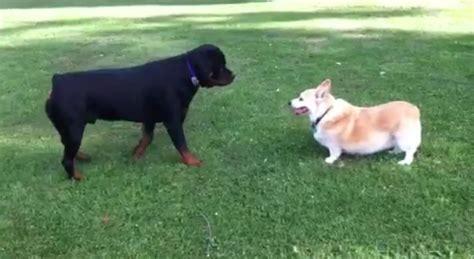 corgi rottweiler rottweiler vs corgi schnauzi