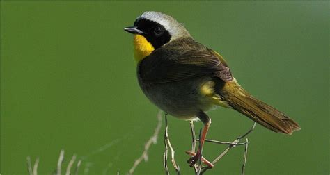 common yellowthroat geothlypis trichas photo charlie