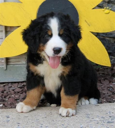 bernese mountain puppies for sale in pa 1000 id 233 es sur le th 232 me bouvier bernois a vendre sur chiot