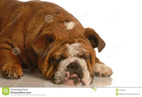 bored puppy bored royalty free stock images image 7646009