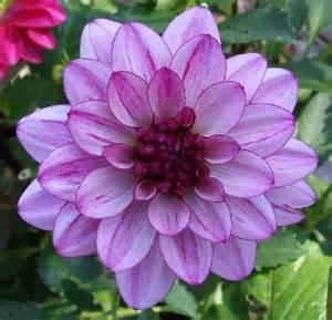 lauren michele dahlias by flower name
