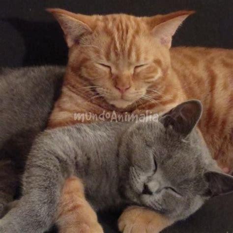 imagenes buenas noches con gatos gatos british shorthair foros de brit 225 nico de pelo corto