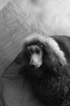 1000+ images about Poodle on Pinterest | Pet shampoo, Hair