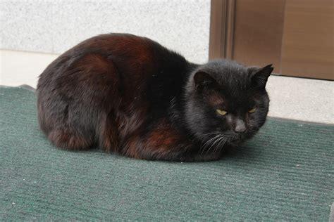 Black Cat T L Ld 86 Cm 地球ネコ旅 レモン島のラブラブな黒猫カップル 生口島 広島 petomorrow ペットゥモロー 明日も うちの子 元気