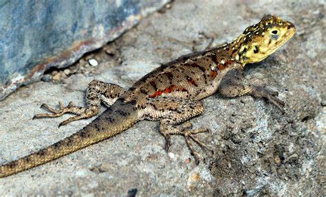lizard images file lizard e jpg wikimedia commons