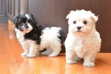 free havanese puppies for sale pictures of havanese puppies page 3 models picture