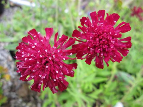 knautia macedonica red knight cm pot