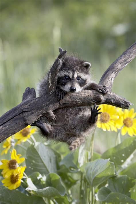 baby marder the 50 cutest baby animals of america state by state