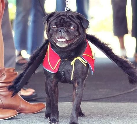 pug wizard 17 best images about pugs on costumes and pug