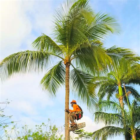 how to trim trees how to trim a coconut palm tree spikeless