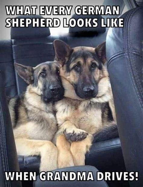 Funny German Shepherd Memes - adorable german shepherd memes pinterest