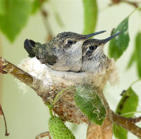 what do birds use to duct tape their nests together audubon
