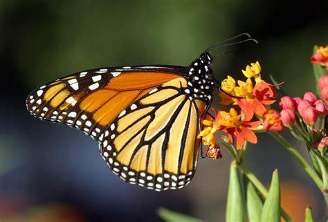 ways  attract bees  butterflies nrdc
