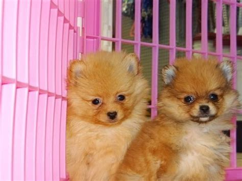 pomeranian puppies for sale in arizona pomeranian puppies dogs for sale in arizona az 19breeders gilbert