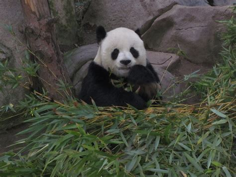 pictures of the cutest in the world cutest panda in the world photo