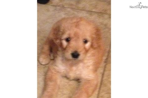 trained doodle puppies for sale meet tina a goldendoodle puppy for sale for 1 295
