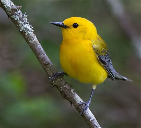 Prothonotary Search File Prothonotary Warbler 11800012685 Jpg Wikimedia Commons