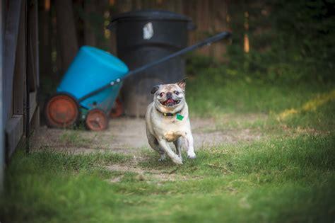 running pug pug on the run