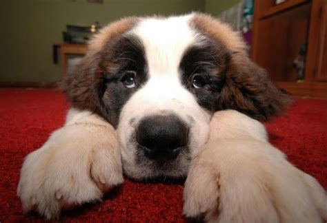 how much are bernard puppies and picture of bernard jpg hi res 720p hd