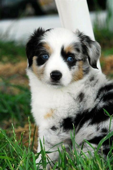 australian shepherd puppies new best 25 australian shepherds ideas on australian shepherd puppies aussie