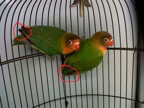 Burung Mozambik Sepasang indo kicau mania kumpulan foto perbedaan jantan betina