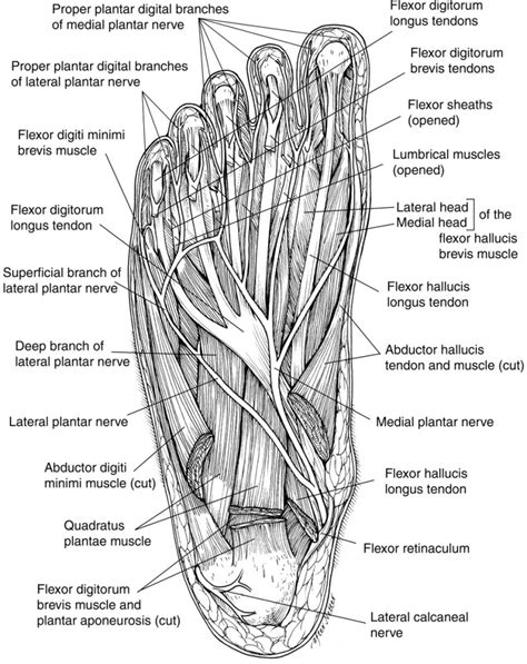 foot diagram diagrams of foot diagram site