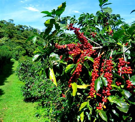 Coffee Tree boquete panama is banquet of coffee flowers water and