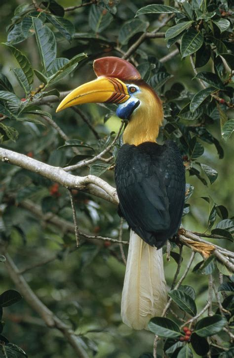 sulawesi knobbed hornbill photograph by jones