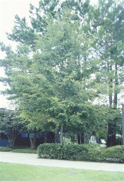 winged elm tree selection landscape plants edward
