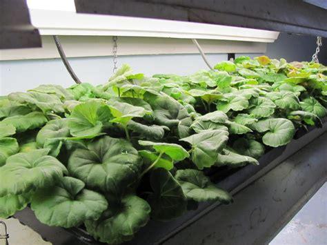 how to grow geraniums from seed the garden of eaden
