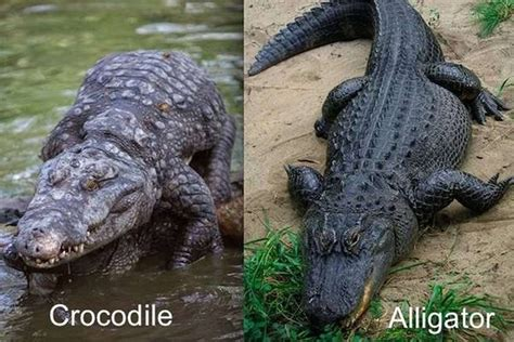 the difference between alligators and crocodiles what s the difference between crocodiles alligators