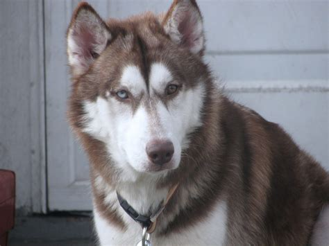 husky with different colored gorgeous dogs with two different colored pet comments