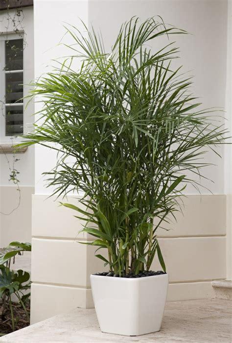 goldfruchtpalme wohnzimmer wohnzimmer palmen pflege surfinser