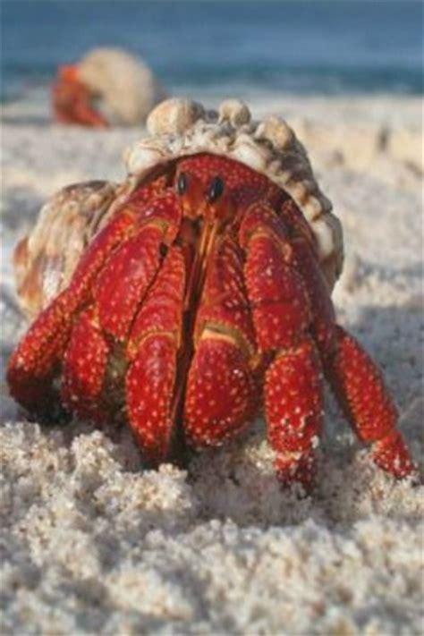 hermit crab heat l hermit crab s e a j e w e l s pinterest crabs