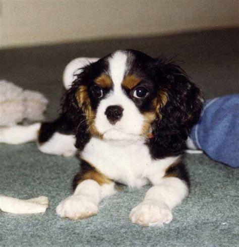 cavalier puppies animal magic by chillipete on monkey panda and dogs