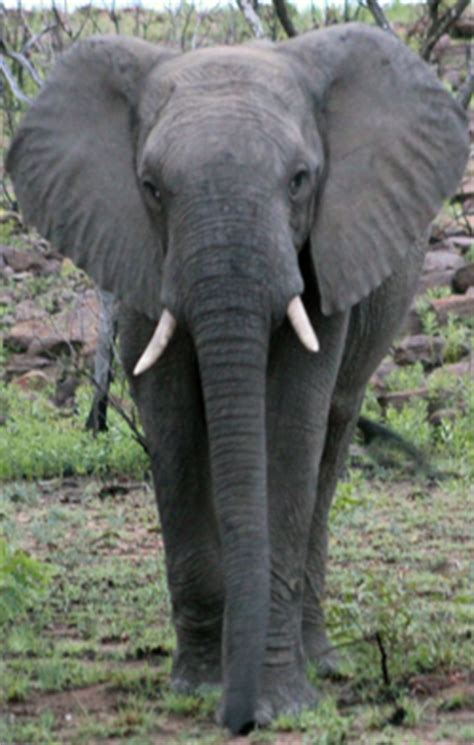 ericas elephant dr mckenzie presented at the iceep in south africa vet gazette