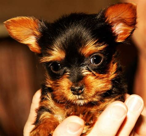 adorable yorkie puppies for adoption adorable and yorkie puppies for free adoption