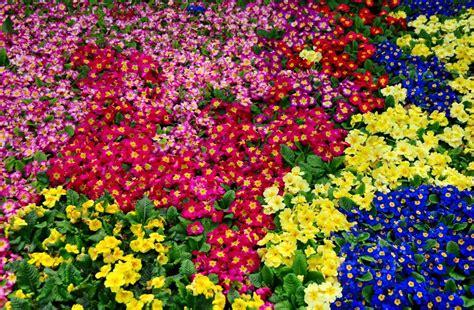 low growing perennial flowers bing images