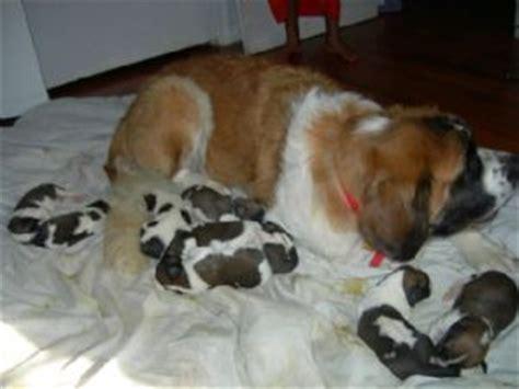 st bernard puppies mn bernard puppies in south carolina