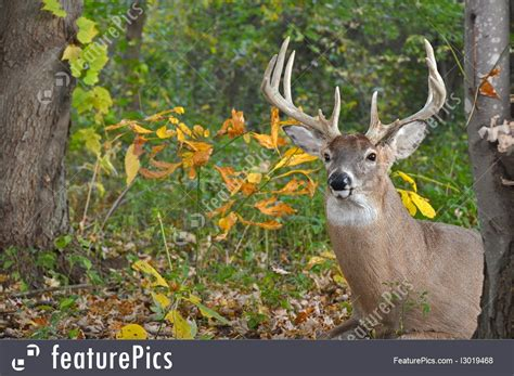 wood bucks whitetail buck in woods picture