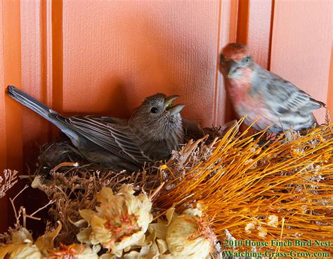 house finches nest again in 2010 live webcam
