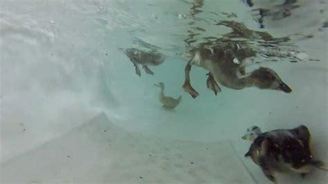 underwater in bathtub duckling bath underwater youtube