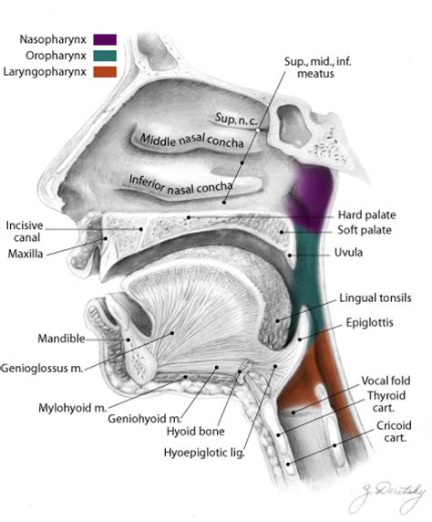 3 sections of the pharynx ehumanbiofield respiratory system ep